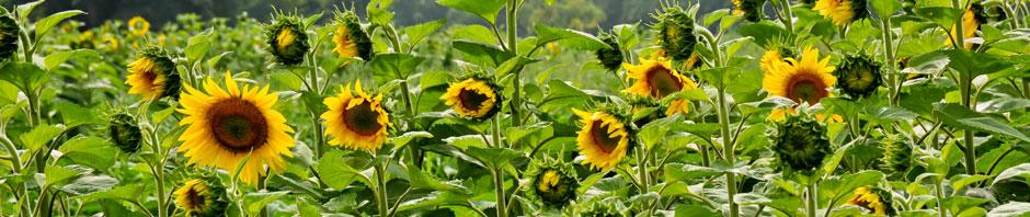 Zonnenbloemen kweken