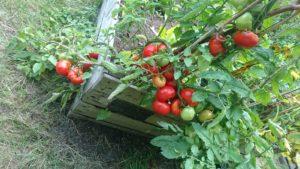 Amstelglorie-tomaten-moestuinbak