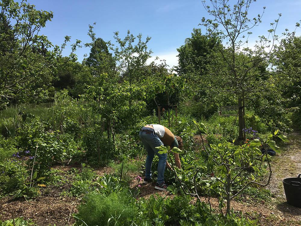 Vrijwilliger is aan het tuinieren in het voedselbos op Amstelglorie