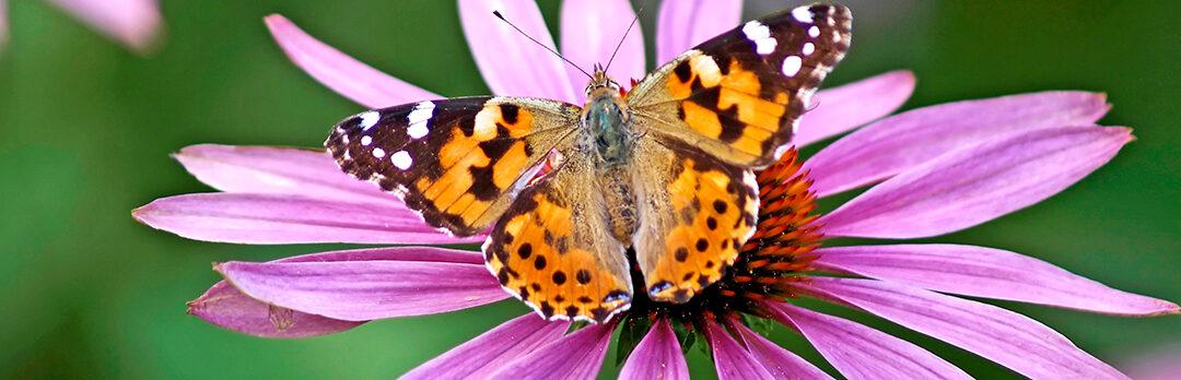 Vlinders op Amstelglorie