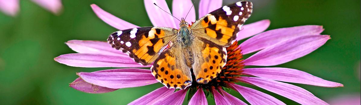 oranje vlinder op roze bloem
